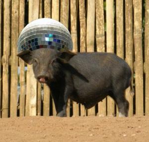 The disco pig