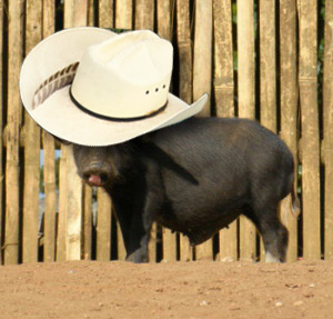 Pig in a hat - just as nature inteneded.