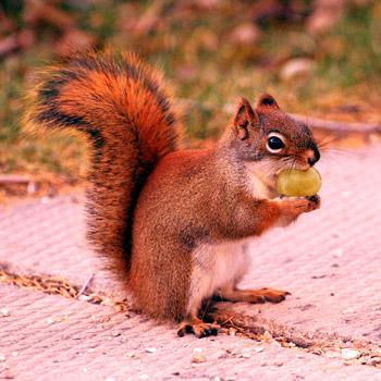 grape nutting a squirrel